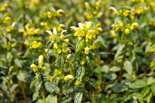 Lamiastrum galeobdolon 'Herman's Pride' - Gele dovenetel - Geel - Vaste plant