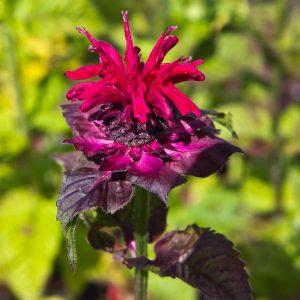 Monarda 'Fireball' Bergamot Zomerbloeier, Insectenplant