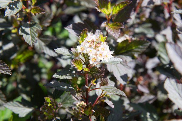 Physocarpus opulifolius 'Little Joker'® Blaasspirea Rood Paars blad