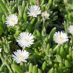 Delosperma congestum 'Alba' - IJsbloem - Wit - Vaste plant