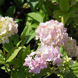 Hydrangea macrophylla 'Bodensee' Hortensia Zomerbloeier