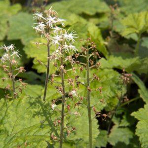 Tiarella cordifolia - Schuimbloem - Vaste plant