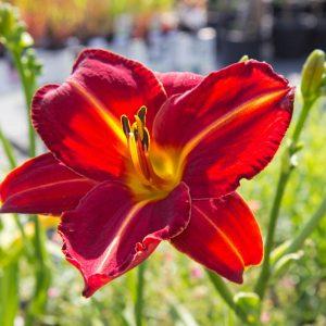 Hemerocallis 'Chewonkii' Daglelie Vasteplant Zomderbloeier