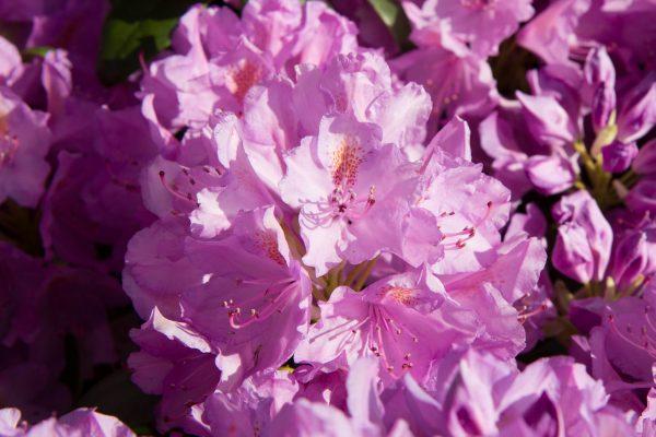 Rhododendron catawbiense 'Grandiflorum' Bladhoudend Voorjaarsbloeier
