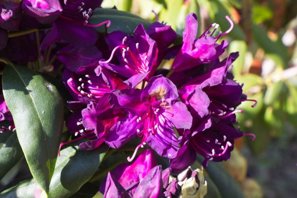 Rhododenron Marcel Mernard Bladhoudende struik Paars