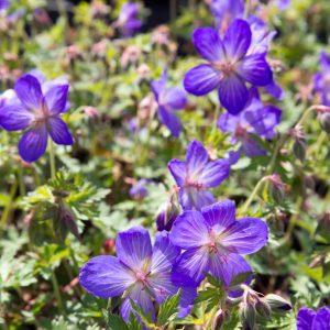 Geranium hybride 'Johnson's Blue' - Ooievaarsbek - Vaste plant