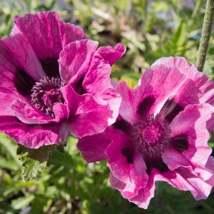 Papaver orientale 'Bolero' Bordeauxrood Klaproos Insectenplant Vaste plant