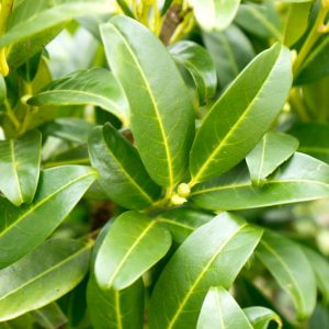 Prunus laurocerasus 'Herbergii' Bladhoudende Laurier haagplant