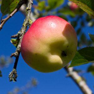 Malus domestica ´Groninger Kroon´ Hand en Moesappel Appel Fruitboom