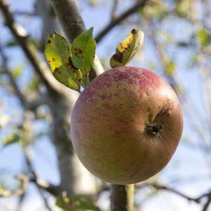 Malus domestica 'Cox's Orange Pippin' Appel Fruitboom Handappel