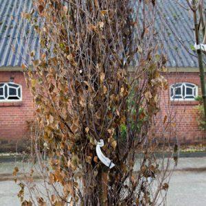 Betula pendula 'Fastigiata' Zuilberk Bloesem trekt Bijen aan