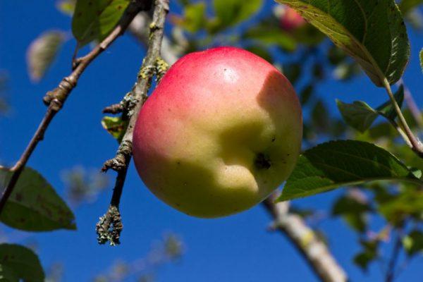 Malus domestica ´Groninger Kroon´ Appel Hand Moesppel Fruitboom