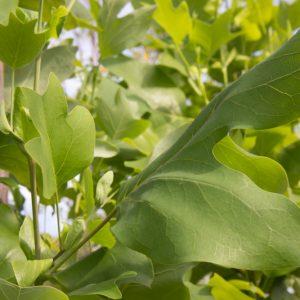 Liriodendron tulipifera Amerikaanse GeelbloeindeTulpenboom