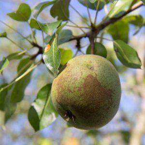 Pyrus communis 'Saint Remy' Fruitboom Peer Stoofpeer