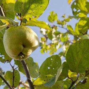 Cydonia oblonga 'Rea's Mammoth' Kweepeer Fruitboom Eetbaar