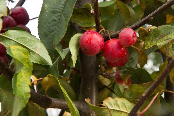 Malus 'Red Sentinel' Sierappelboom Rood