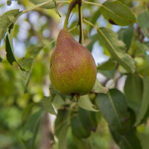 Pyrus communis 'Charneux' Peer Handpeer Fruitboom