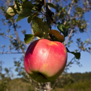 Malus domestica 'Jonagold' Appel Fruitboom Handappel