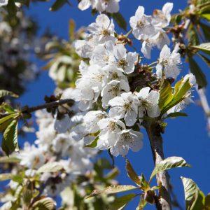 Prunus avium 'Early Rivers' - Fruitboom - Kers - Wit