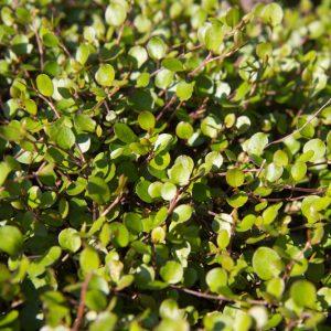Muehlenbeckia axillaris 'Nana' Draadwijn Bodembedekker Vaste plant