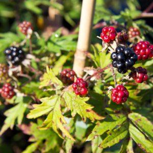 Rubus fruticosus 'Thornless Evergreen' - Braam - Braambes - Voedsel bos