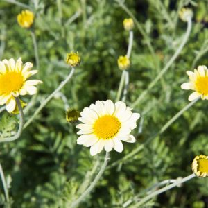 Anthemis hybride 'Susanna Mitchell' Gele kamille Vaste plant