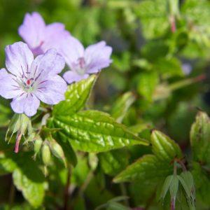 Geranium 'Nodosum' - Ooievaarsbek - Vaste plant