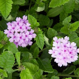 Verbena 'Seabrooks Lavender' - Vaste plant