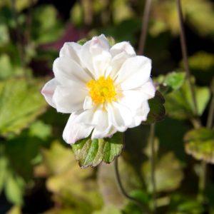 Anemone hybrida 'Whirlwind' - Herfstanemoon - Anemoon - Vaste plant