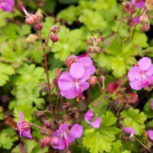 Geranium cantabrigiense 'Karmina' - Ooievaarsbek - Vaste plant