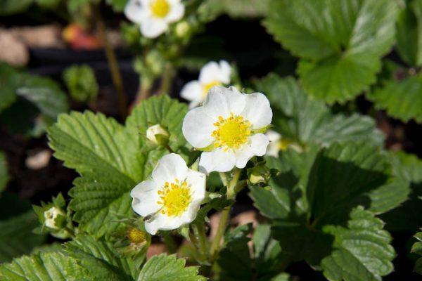 Fragaria x ananassa Pineberry 'Snow White' - Witte aardbei - Vaste plant