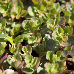 Sedum spurium 'Purpurteppich' - Vaste plant